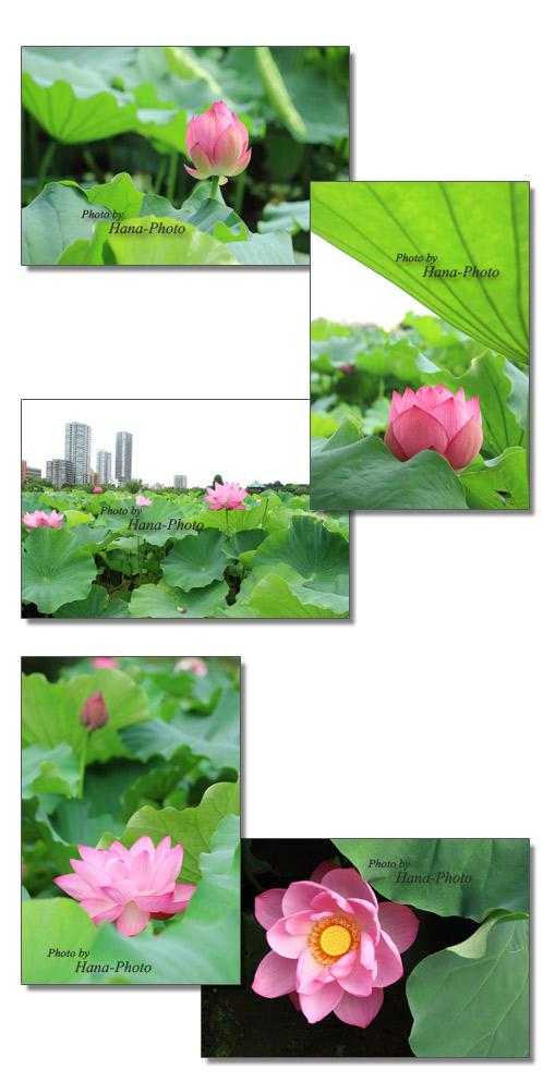 蓮 ハス 蓮の花 はす 花 ピンク 上野公園 不忍池 不忍の池 夏 真夏