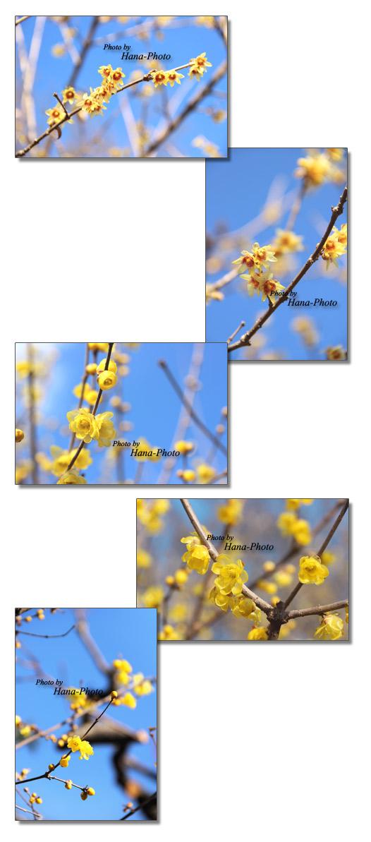 蝋梅 ろうばい ロウバイ 青空 早春 冬 春