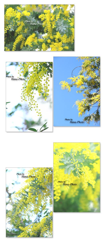 春 ミモザ ミモザアカシア 房アカシア 花 黄色 ふわふわ 丸い 真ん丸 可愛い キュート