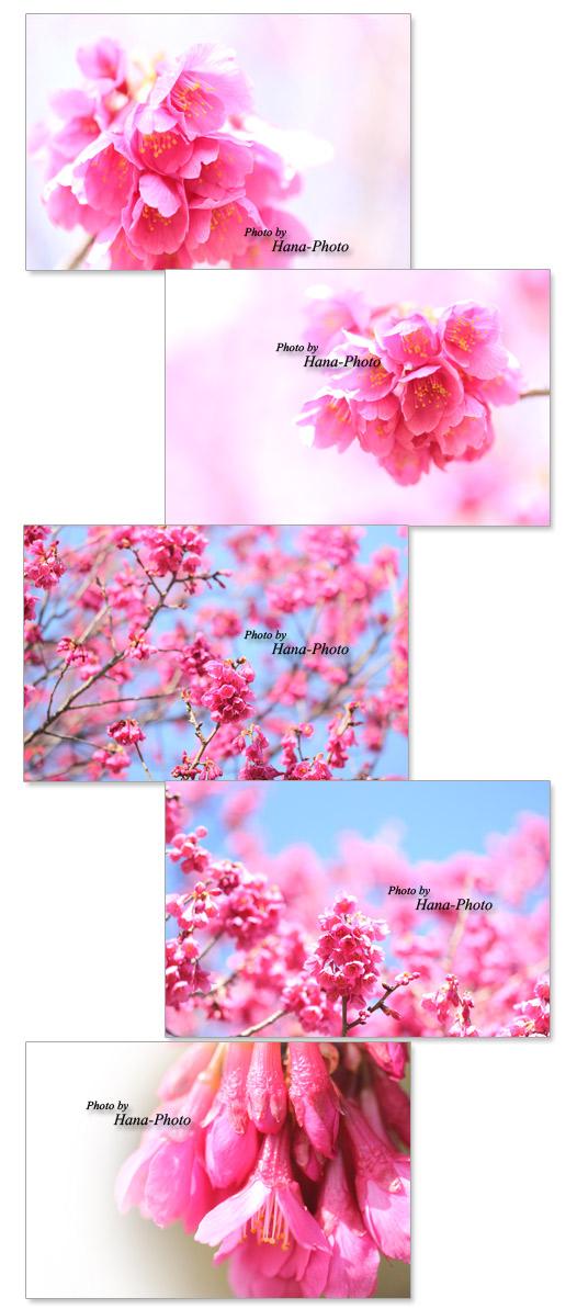 緋寒桜 ヒカンザクラ ひかんざくら 桜 さくら サクラ 花 満開 春 ベル型 赤 ピンク 寒緋桜 かんひざくら カンヒザクラ アップ