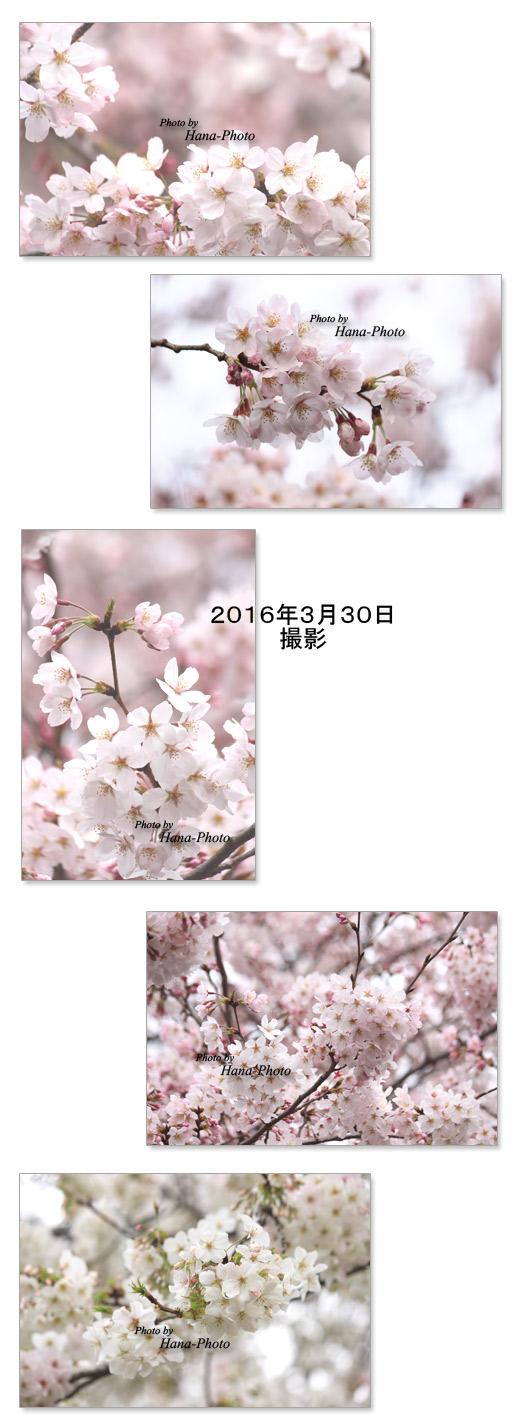 桜 さくら サクラ 染井吉野 そめいよしの ソメイヨシノ オオシマザクラ 大島桜 満開 八分咲き きれい 春 花