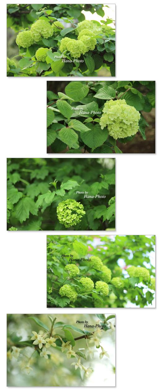 オオデマリ 大手鞠 おおでまり ビバーナム・スノーボール テマリカンボク 手毬肝木 てまりかんぼく 花 緑 似ている テマリバナ 手鞠花 てまりばな 春 初夏 ぐみ グミ 花 白 小さい 花
