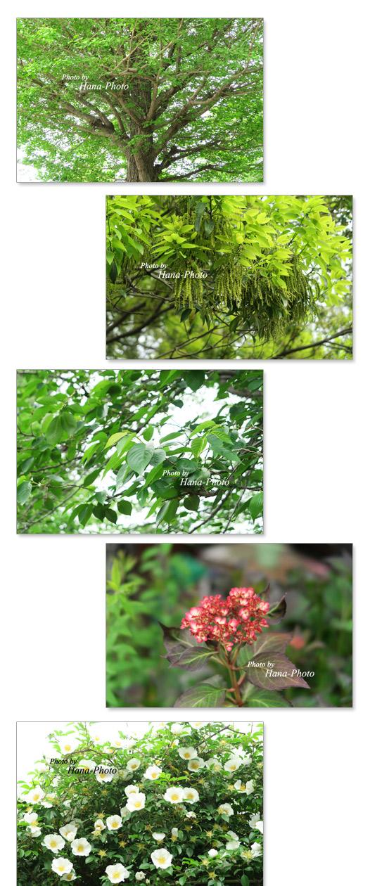 新緑 桜 葉桜 緑 銀杏  どんぐり 花 紫陽花 あじさい アジサイ バラ 赤 緑 グリーン 初夏 爽やか