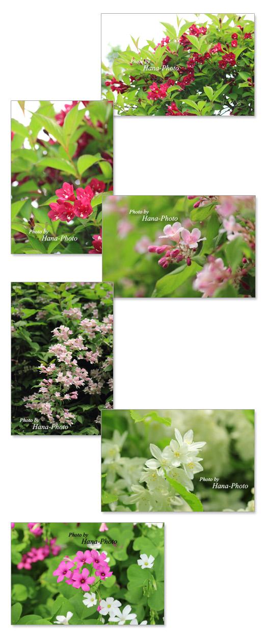 花 初夏 花木 きれい 赤 ピンク 白 大紅空木 オオベニウツギ 谷空木 タニウツギ 空木 ウツギ オキザリス 草花 きれい