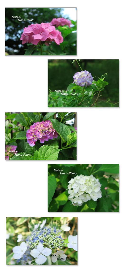 紫陽花 あじさい アジサイ 梅雨 花 きれい 6月 花びら