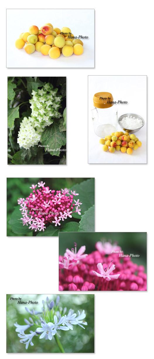 梅 完熟梅 梅ジュース 花 ボタンクサギ アガパンサス カシワバアジサイ 柏葉紫陽花 梅雨 6月 ピンク 白 ブルー ショッキングピンク きれい アップ