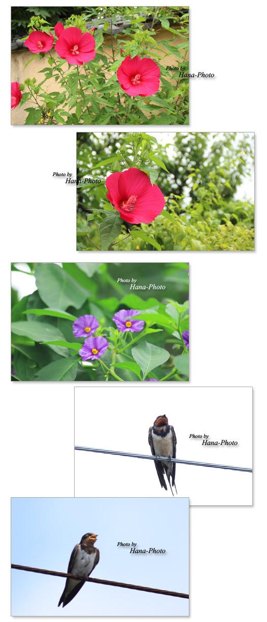 アカバナフヨウ 赤花芙蓉 ツバメ 燕 つばめ ソラナム・ラントネッティ 花 夏 夏の花 きれい