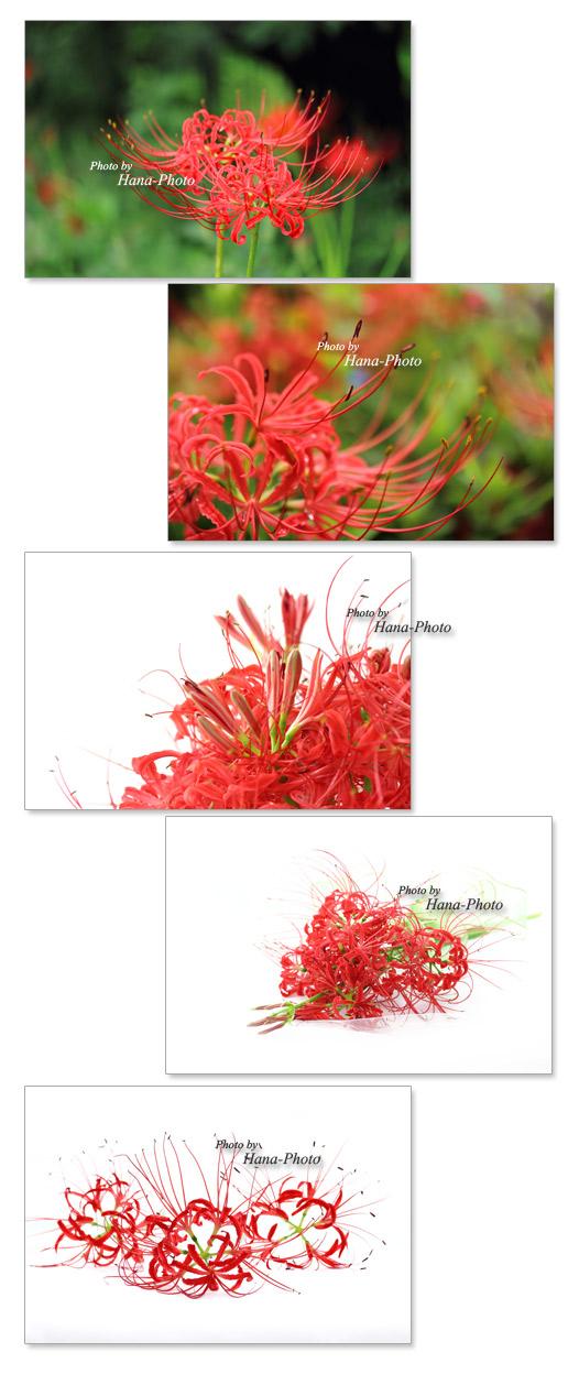 曼珠沙華 ひがんばな 彼岸花 ヒガンバナ 赤 花 秋 ブーケ アップ 鮮やか きれい