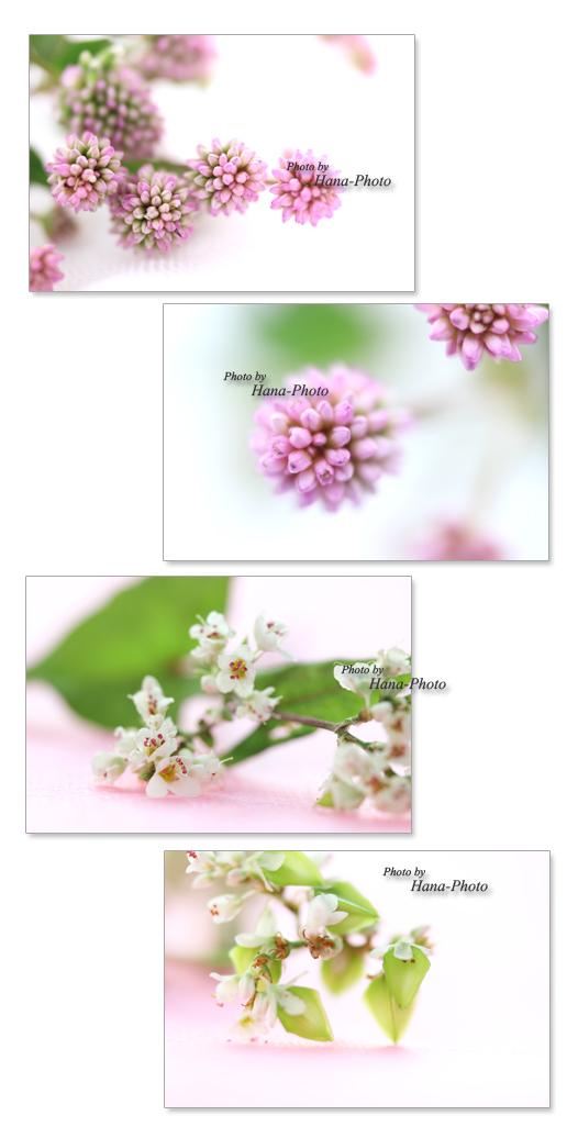 クローズアップ アップ 花 ヒメツルソバ 蕎麦 蕎麦の花 ソバの花 ピンク 白