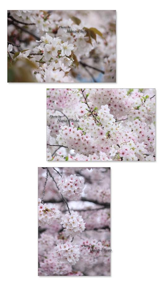 曇り 桜 ソメイヨシノ そめいよしの 染井吉野 さくら サクラ 山桜 やまざくら ヤマザクラ 大島桜 オオシマザクラ春