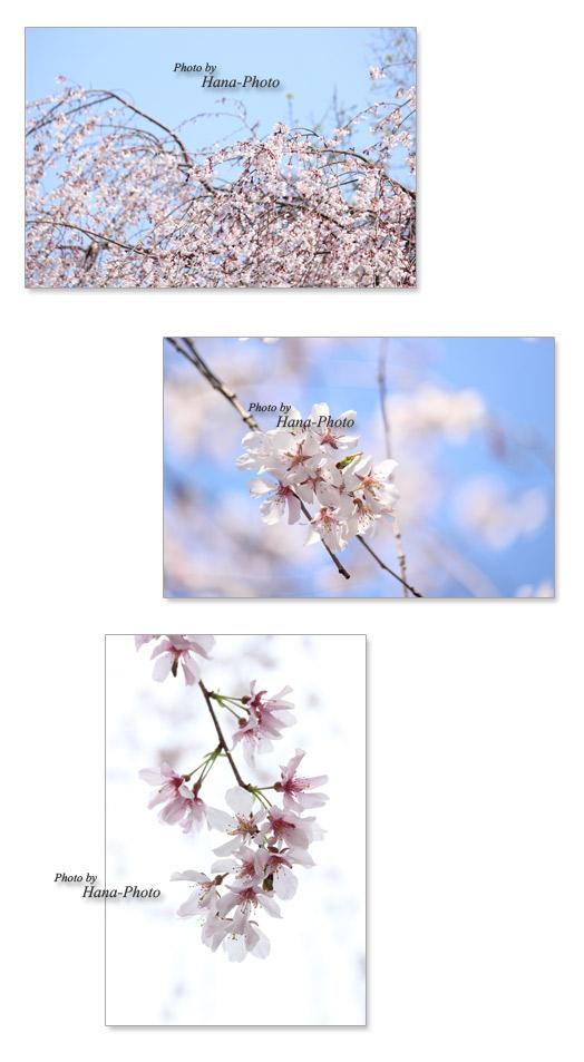 晴 青空 晴れ 桜 さくら サクラ 染井吉野 ソメイヨシノ そめいよしの 春