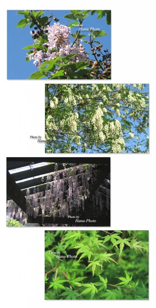 桐 花 ニセアカシア ハリエンジュ 藤 フジ ふじ きり キリ 青空 木 樹木