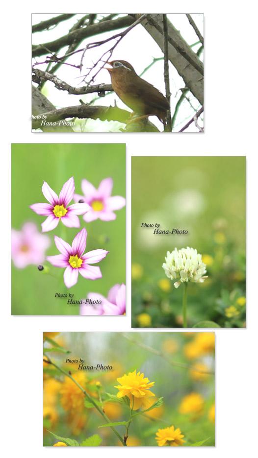 ガビチョウ 八重ヤマブキ 山吹 ヤマブキ 八重山吹 ニワゼキショウ 白詰草 クローバー 花 小さい ピンク 黄色 白