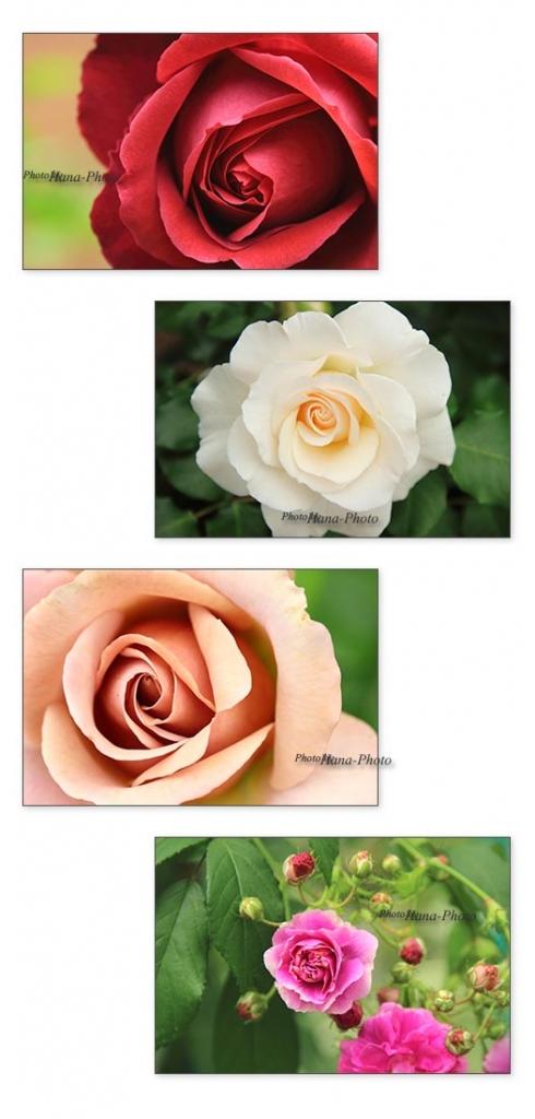 バラ アップ ばら 薔薇 ピンク 赤 ベージュ きれい 初夏