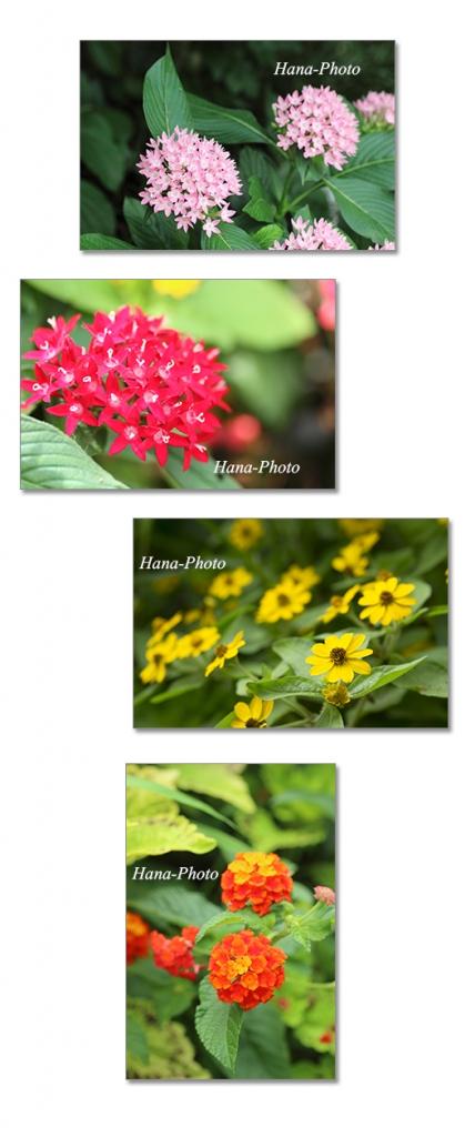 花 ランタナ 七変化 メランポジウム ペンタス 庭の花