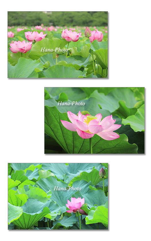 蓮 はす ハス 花 夏 ピンク 美しい きれい
