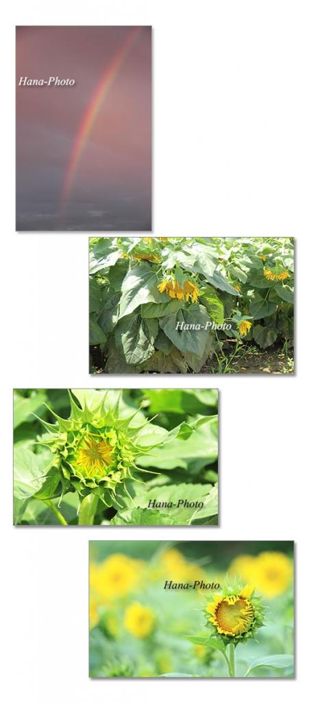 虹 向日葵 ひまわり ヒマワリ 蕾 ツボミ ガク つぼみ 黄色 花 夏 8月 夏の花