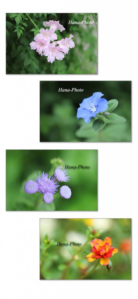 アメリカンブルー マツバボタン アゲラタム ノウゼンカズラ ピンク 紫 秋 青 ブルー 花 写真 撮影