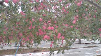 青森県弘前市で起業する社長のブログ_板柳町のりんご畑