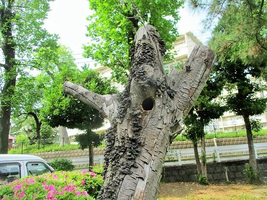 あのコゲラのいる木が…