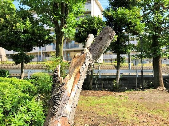 上飯田団地のコゲラの巣が…