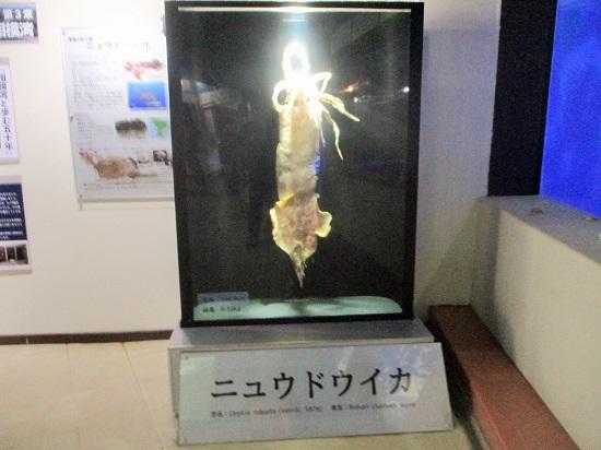 京急油壺マリンパーク ニュウドウイカ