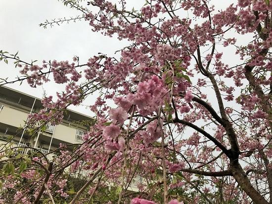 2019年4月8日(月)しだれ桜がさらに美しく
