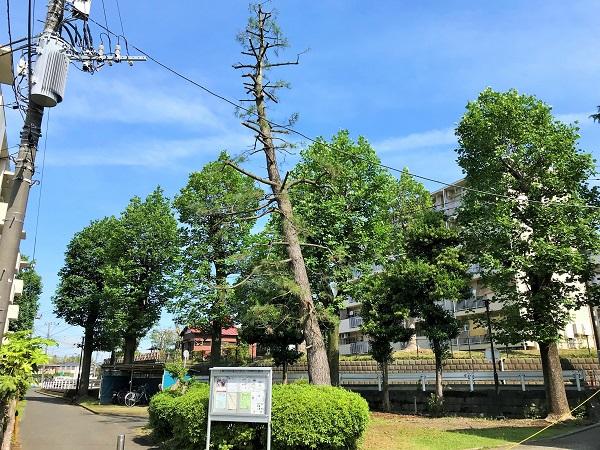 2019年11月9日(土)松の大木が切り倒された!