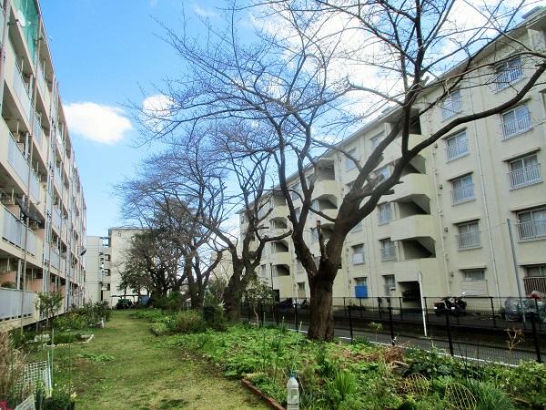 2020年3月15日(日)団地桜が開花 観測史上最速!