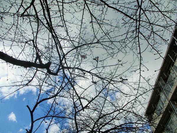団地桜が開花 観測史上最速!