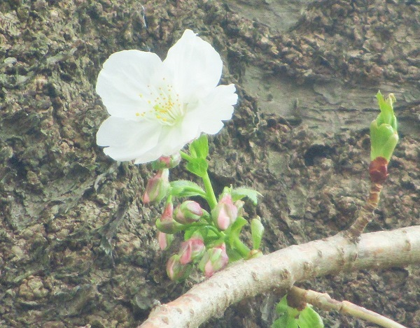 16棟の一本桜