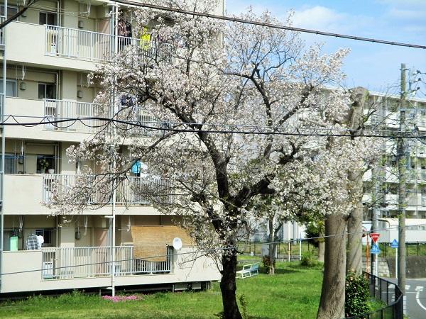 2020年4月10日(金)16棟の一本桜も満開!