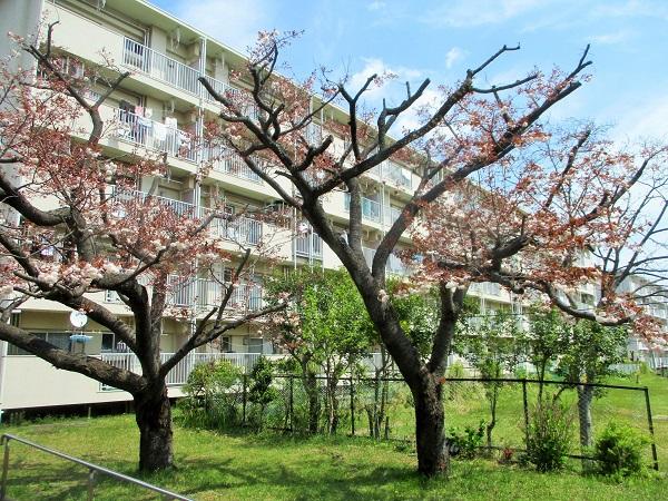 17棟の八重桜