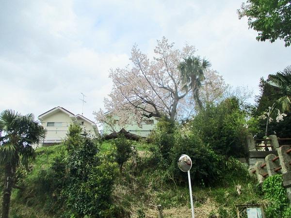 2020年4月12日(日)数年前に台風で倒木した桜… 今年も咲きましたよ!