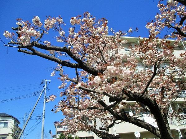 2020年4月14日(火)17棟の八重桜