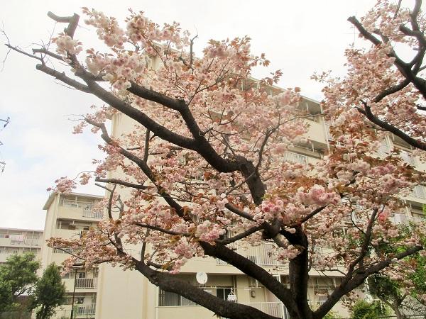2020年4月17日(金)17棟の桜 ほぼ満開に!