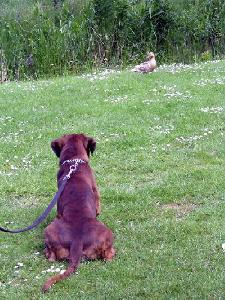 鳥を狙うワンコ:オランダ