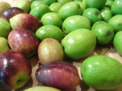 オリーブ収穫