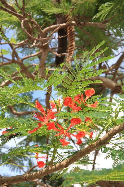 沖縄街路樹