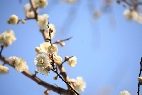梅の花2012