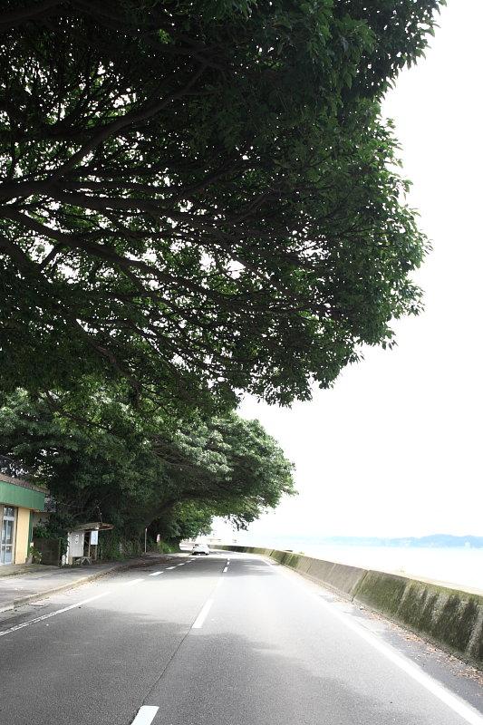 桜島アコウ群03