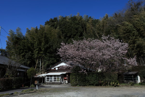 上谷町の桜