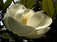タイサンボクの花