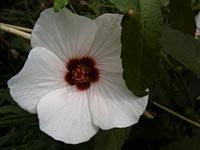 ヤノネボンテンカの花