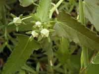 ヤノネボンテンカの葉とつぼみ