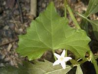 スズメウリの葉