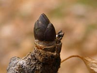 タカノツメの冬芽
