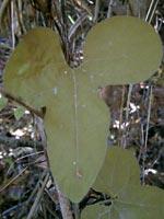 タンザワウマノスズクサの葉