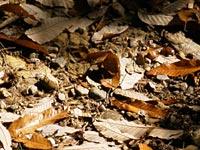 落ち葉にまぎれるクロコノマチョウ