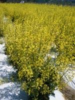 アブラナ科の畑